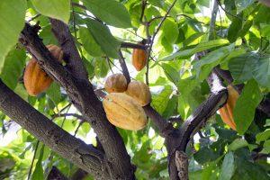 樹木に実るカカオの果実