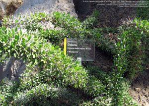 """マダガスカル島南部からの""""Didierea trollii""""(シュトゥットガルト動物園/ドイツ・ヴィルヘルマ)"""