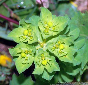 """トウダイグサ科トウダイグサ属(Euphorbia)の種(""""Euphorbia serrata""""と思われる)"""
