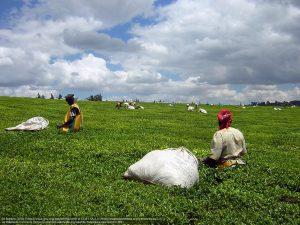 茶葉の収穫(ケニア・ケリチョ(Kericho)近く:ケニアの大地溝帯西部の高地)
