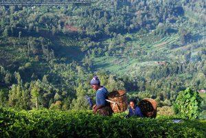 山間の地で、栽培した茶葉を伝統的な手法で積む女性たち(ケニヤ)