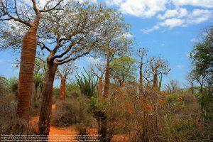 """様々なバオバブの種や""""マダガスカルオコティロ(Madagascar ocotillo)""""などの有刺林(マダガスカル島・南西部の海岸沿いの土地""""Ifaty"""")"""