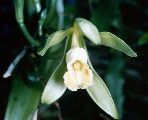 """バニラ属の """"Vanilla planifolia"""" の花"""