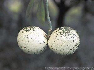 Voacanga thouarsiiの果実