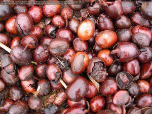 シアバターノキの種子(ブルキナファソ南部)