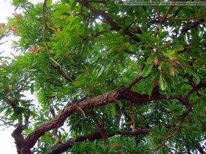 シアバターノキの枝葉(ガーナ北部地域)