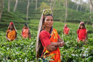インド・アッサム州の茶畑で働く女性たち