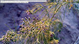 クミンの花(インド・ラジャスターン州)