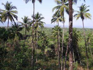 ココナッツの木立(西ガーツ山脈)
