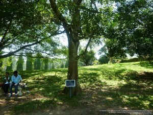 ペーラーデニヤ植物園のシナモンの木(スリランカ)
