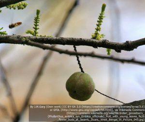 """アラマキ(アムラ)の果実(インド西ベンガルのジャルパイグリ地方にある保護区""""Buxa Tiger Reserve"""")"""