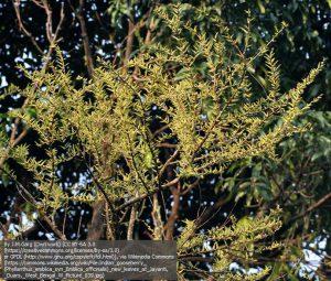 """アラマキ(アムラ)の木(インド西ベンガルのジャルパイグリ地方にある保護区""""Buxa Tiger Reserve"""")"""