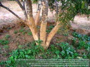 アラマキ(アムラ)の樹木(インド・ラジャスタン地方)