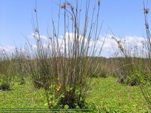 ゴツコラと、ゴツコラを枯らしていく背の高いタケニグサの花。