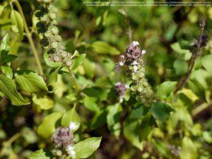 カプール・トゥルシー(Ocimum kilimandscharicum)