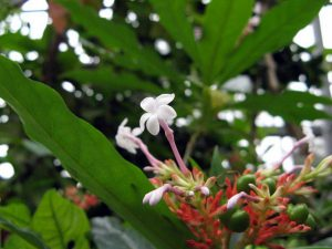 インドジャボク(ラウオルフィア)の葉と花