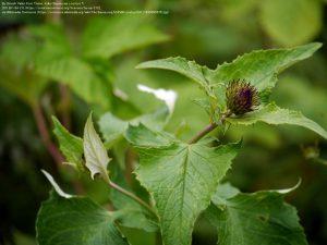 モッコウ(Saussurea costus)(北東インド・Ghangaria近く)