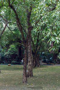 ミロバラン(Terminalia chebula)(中国南部)
