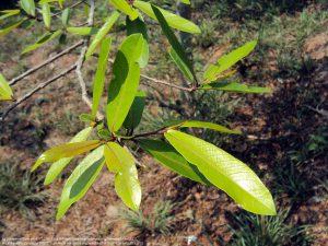アルジュナ(Terminalia arjuna)(インド南西部)