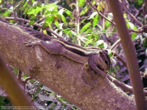 ニームの木の幹と枝(リスが横たわっている)