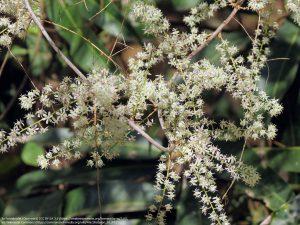 シャタバリの花