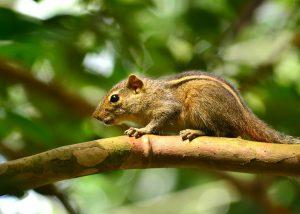 スリランカの野生のリス