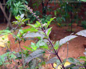 クリシュナ・トゥルシー(学名:Ocimum tenuiflorum)