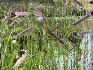 ブルーグラマ(学名:Bouteloua gracilis)