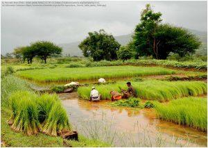インドの稲作風景