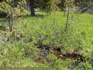 標高3170mの湿地の小川。小川に沿って、低木のアメリカンドワーフバーチや、その他の植物が育っている。(チェペタ湖・ユタ州)