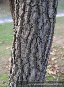 モミジバフウの幹(樹皮)