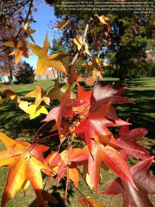 秋のモミジバフウ / ユーイング(ニュージャージー州)