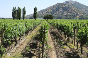 垣根に栽培されたブドウ(サンティアゴ・チリ)