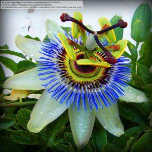 トケイソウの花(雌しべの形状がキリストの十字架の釘に見えるとされた)