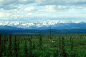 カナダトウヒ(学名:Picea glauca)の森:アラスカのタイガ
