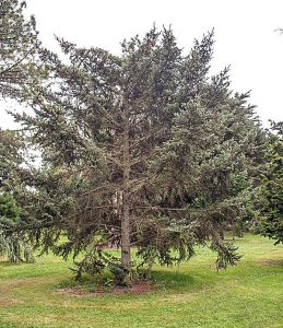 学名:Picea jezoensis)