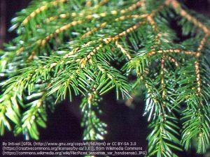 トウヒ(学名:Picea jezoensis var. hondoensis):エゾマツの変種)