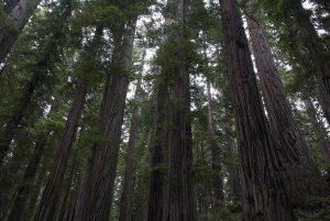 セコイアの巨木の森(レッドウッド国立州立公園)