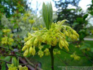 サッサフラスの花 / 植物学者 Robert R. Kowal氏の庭園より(ウィスコンシン州)