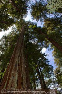 セコイアの木(レッドウッド国立州立公園)
