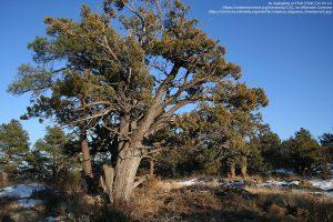 ビャクシン属のアリゲーター・ジュニパー(またはチェッカー・ パーク・ ジュニパー、学名:Juniperus deppeana)(アリゾナ州)
