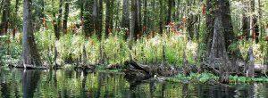 イチェタックニー川のほとりに生息するロベリア(フロリダ州コロンビア郡)