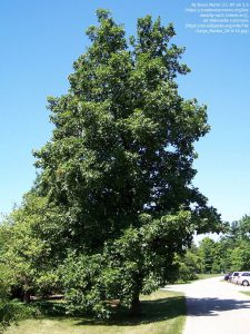 ヒッコリーの一種(Carya morton)(イリノイ州ライル)