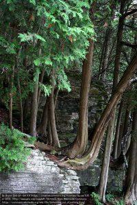 岩棚から生えるニオイヒバ / ポタワトミ州立公園(ウィスコンシン州)