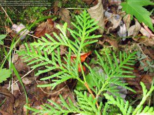 ニオイヒバの枝葉 / スーペリア国立森林公園(ミネソタ州)