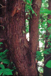ニオイヒバの幹(樹皮)