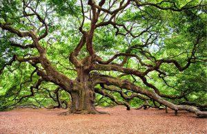 オークの木(サウスカロライナ州)