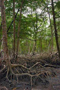 レッド・マングローブ(Rhizophora mangle)の森(ブラジル・パラー州)
