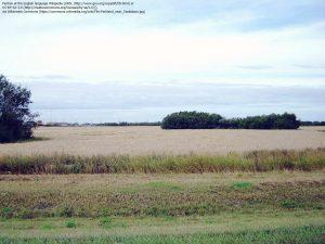サスカチュワン州サスカトゥーン近くの小麦畑。畑に取り囲まれてアスペンの木立が見える。