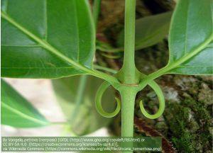キャッツクローの葉の付け根にある、爪状の棘(とげ)